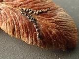 Mycosphaerella pteridis image