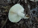 Russula modesta image
