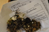 Rimbachia bryophila image