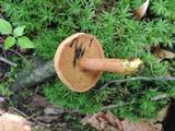 Chalciporus piperatoides image