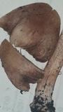 Inocybe adaequata image