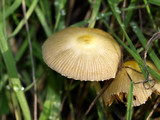 Bolbitius vitellinus image