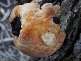 Inocutis dryophila image