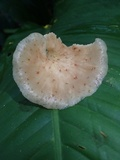 Echinochaete brachypora image