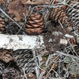 Amanita cylindrispora image