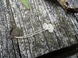 Hemimycena gracilis image