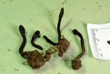 Trichoglossum octopartitum image