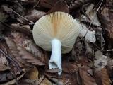 Russula decolorans image