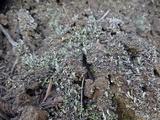Cladonia hammeri image