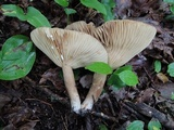 Lactarius fumosus var. fumosus image