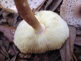 Leucoagaricus meleagris image