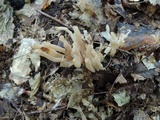 Clavaria fumosa image