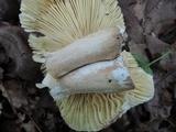 Russula faginea image