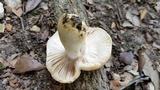 Russula pulverulenta image
