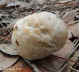 Leccinum chalybaeum image