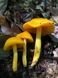 Humidicutis marginata var. concolor image