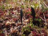 Image of Geoglossum uliginosum
