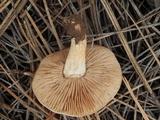 Hebeloma arenosum image