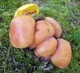 Baorangia bicolor image