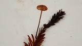 Gymnopus sequoiae image
