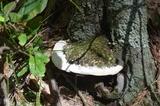 Oxyporus populinus image