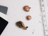 Phallogaster saccatus image