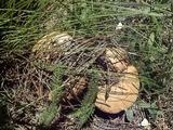Agaricus didymus image