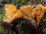 Cantharellus roseocanus image