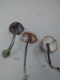 Psilocybe guilartensis image