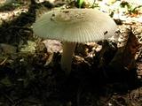 Amanita farinosa image