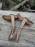 Cortinarius vernus image