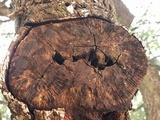 Clitopilus hobsonii image