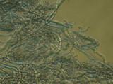 Cinereomyces lindbladii image