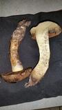 Suillellus hypocarycinus image