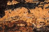 Phellinus betulinus image