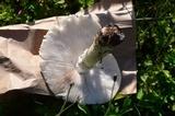 Amanita canescens image
