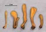 Microglossum fumosum image