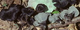 Cantharellus cinereus image