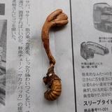 Ophiocordyceps sobolifera image