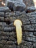 Hygrophorus speciosus image
