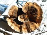 Hydnellum earlianum image