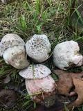 Hypomyces hyalinus image