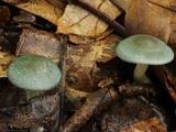 Clitocybe odora image