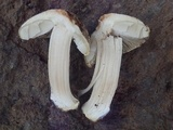 Inocybe chelanensis image