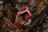 Clathrus archeri image