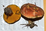 Boletus rufocinnamomeus image