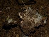 Rigidoporus sanguinolentus image