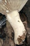Lactarius pallidus image