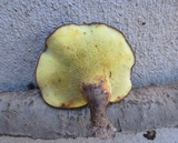 Boletinellus merulioides image