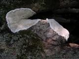 Gloeodontia discolor image